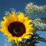 blusunflower